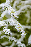 White spirea in garden Stock Photos