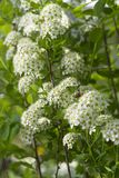 White spirea Royalty Free Stock Photography
