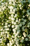 White Spirea. And green Branch Royalty Free Stock Photo