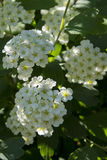 White Spirea (Spirea Alba) in the spring garden Stock Photos