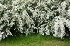White spirea. At the spring season Royalty Free Stock Photos