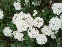 White Spirea on a sunny day. The photo shows a bush of the White Spirea on a sunny day Stock Image
