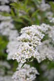 White spirea. At the sunny day. Spring season Stock Images