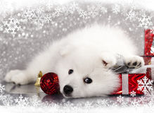 White spitz stock images