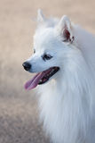 White Spitz. Close-up of a cute white spitz head Royalty Free Stock Photography