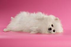 White Spitz Dog Lying on Colored Background Royalty Free Stock Photos
