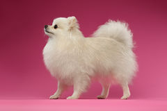 White Spitz Dog Stands on Colored Background Royalty Free Stock Photography