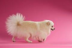 White Spitz Dog Walks on Colored Background Royalty Free Stock Photo