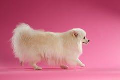 White Spitz Dog Walks on Colored Background Royalty Free Stock Image