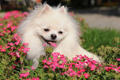 White spitz in flowers Royalty Free Stock Photography