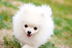 White Spitz Royalty Free Stock Photos