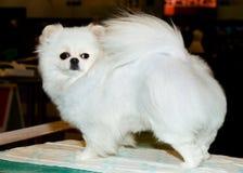White Spitz. Royalty Free Stock Photos