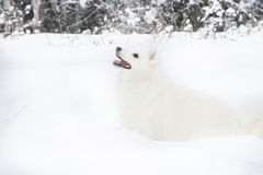 White spitz walking on the snow winter forest Stock Images