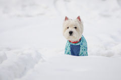 White Spitz in winter dress. On a snow Stock Photography