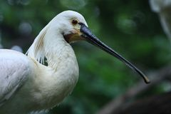White spoonbill Royalty Free Stock Photography