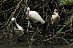 White spoonbill bird Royalty Free Stock Photo