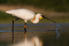 White spoonbill eating fish and drinking water royalty free stock image