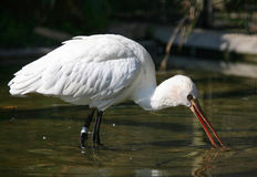 White spoonbill Royalty Free Stock Image
