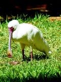White spoonbill Stock Image