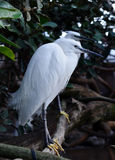White Spoonbill wading in the river Royalty Free Stock Images