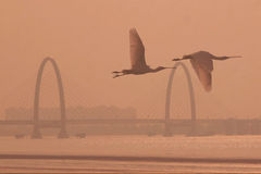 White spoonbills will fly in the qiantang river Stock Photos