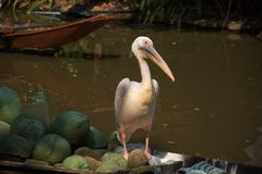 The white spot-billed pelican bird standing on the fruits boat stock photos