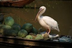 The white spot-billed pelican bird standing and looking at some fruits on the boat stock photography