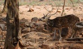 White spot deer Stock Photo