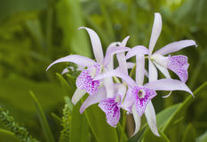 Cattleya hybrid. White and spot Purple Cattleyas hybrid Stock Images