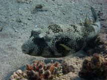 White spots pufferfish swims Royalty Free Stock Image