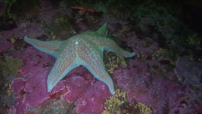 White with spots starfish on background seabed underwater in ocean of Alaska. stock footage