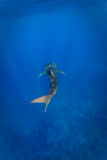 White spots on Whale shark (Rhincodon typus) Stock Photos