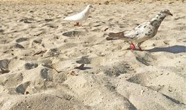 White and spotted beach birds in the sand pigeons in paradise. White sand beach scene travel deeper two birds white and speckled black relax on the beach stock photos