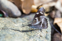 White-spotted Beak butterfly Royalty Free Stock Photography