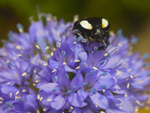 White spotted beetle on flower Stock Photo