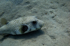 White spotted blowfish Stock Photo