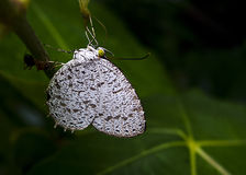White spotted butterfly. A white spotted butterfly resting on a branch royalty free stock photo