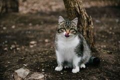White spotted cat sitting and licking on the street stock photography