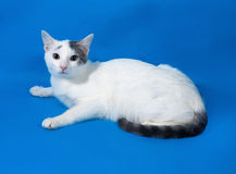 White spotted cat teenager lying on blue Stock Photos