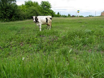White spotted cow tied in a clearing among the field Stock Images