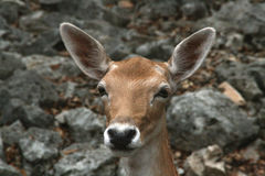 White Spotted Deer Stock Photography