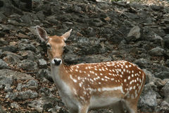 White Spotted Deer. A white spotted deer looks on Stock Photos