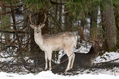 White Spotted Deer. Two Fallow Deer Buck. Majestic Powerful Adult Fallow Deer, Dama Dama, In Winter Forest, Belarus. A Male Of Fal. Low Deer  Daniel  With Grate Stock Photos