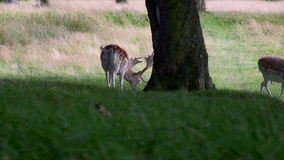 White and spotted fallow deer. Two common chestnut color with white mottles fallow male deer are feeding in the wild and then the third, rare white deer enters stock video