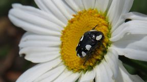 White-spotted Fruit Chafer beetle. Mausoleopsis amabilis White Spotted fruit chafer beetle on a white daisy flower Royalty Free Stock Image