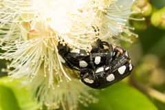 White spotted fruit chafer Stock Photos