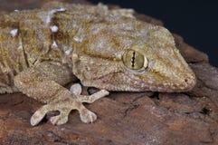 White spotted gecko / Tarentola annularis Stock Image