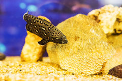 White spotted grouper Stock Photography