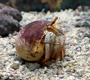 White - spotted hermit crab Stock Photos