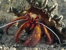 White-spotted hermit crab Stock Images